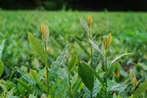 Camellia sinensis plant